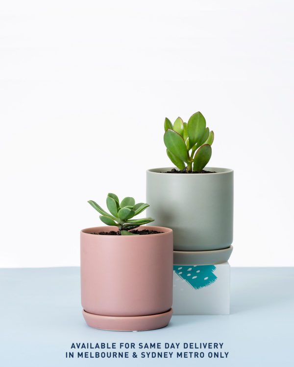 Succulent Plant Gift Delivery
